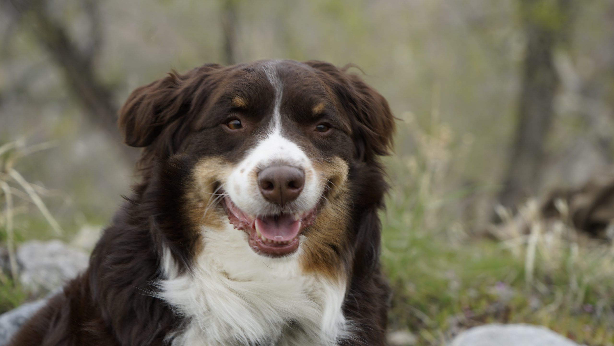 Smiling Australian Shepherd is top dog